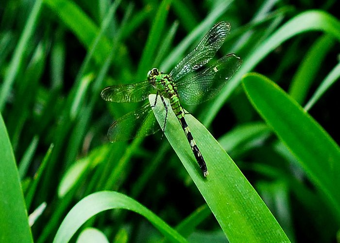 Dragonfly Greeting Card featuring the photograph Atchafalaya Dragonfly by David Mortenson