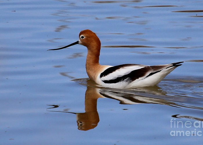 American Avocet Greeting Card featuring the photograph American Avocet by Marty Fancy