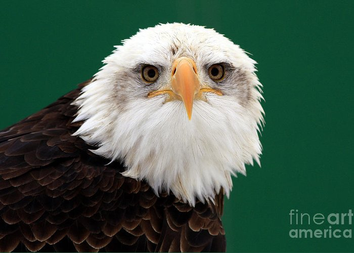 American Bald Eagle Greeting Card featuring the photograph American Bald Eagle On The Look Out by Inspired Nature Photography Fine Art Photography
