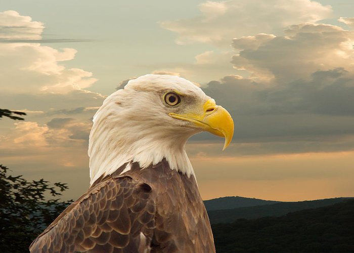 Eagle Greeting Card featuring the photograph American Bald Eagle With Peircing Eyes by Douglas Barnett