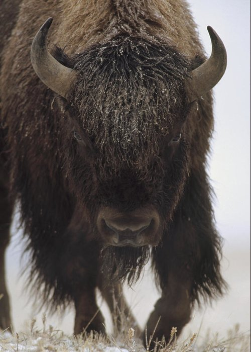 00172336 Greeting Card featuring the photograph American Bison Portrait by Tim Fitzharris