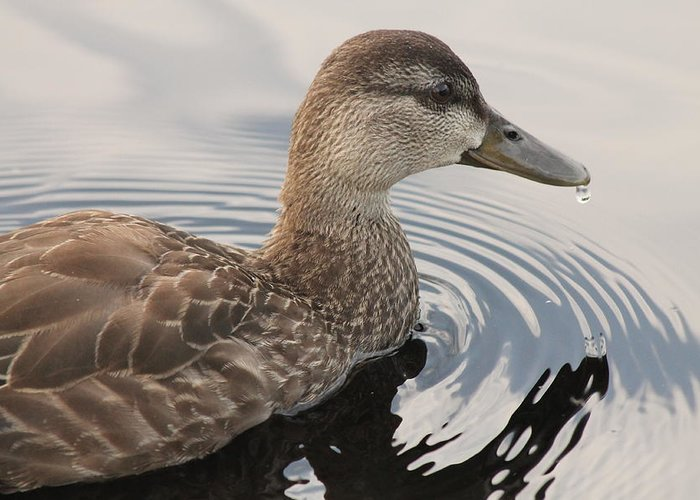 Duck Greeting Card featuring the photograph American Black Duck by Liam Brennan