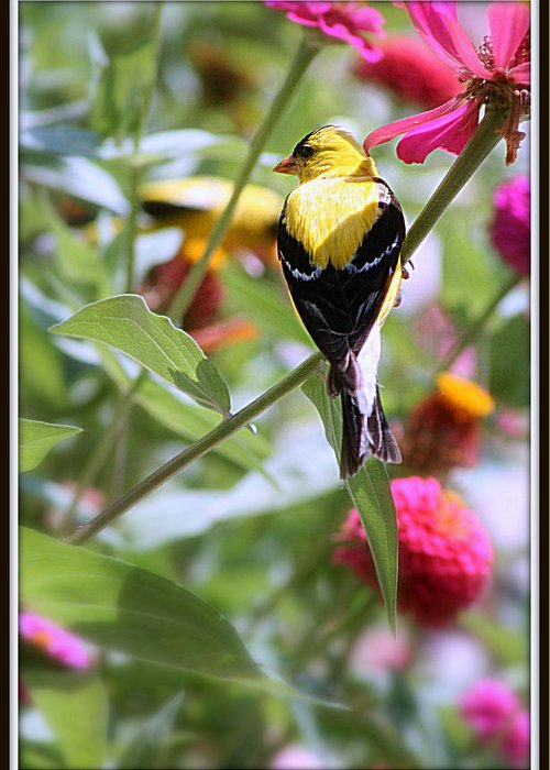 American Greeting Card featuring the photograph American Goldfinch by Kay Novy