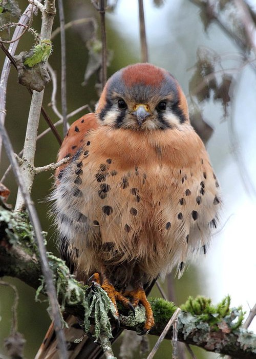 Birds Greeting Card featuring the photograph American Kestrel by Angie Vogel