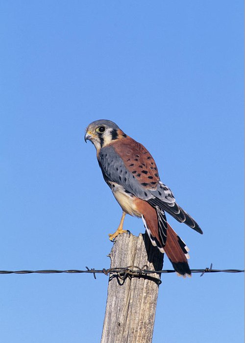 American Kestrel (falco Sparverius Greeting Card for Sale ...