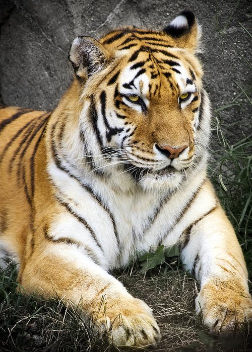 3scape Photos Greeting Card featuring the photograph Amur Tiger by Adam Romanowicz