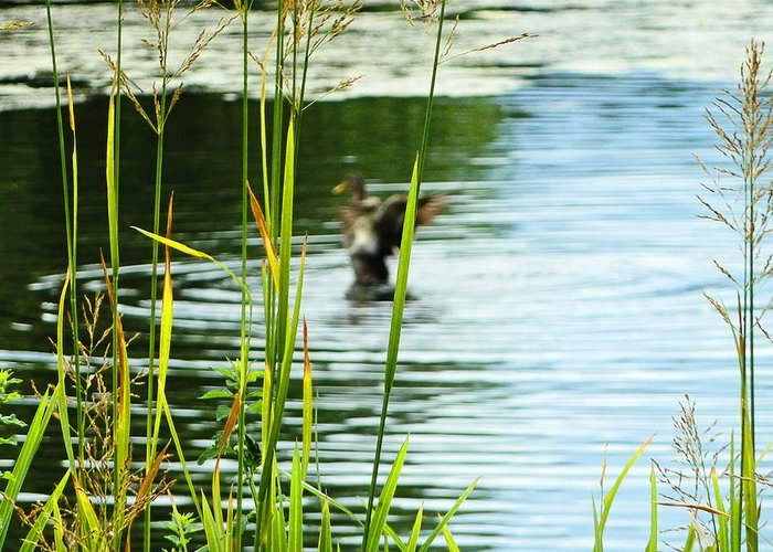 Duck Greeting Card featuring the photograph An Out Of Focus Flap by Steve Taylor