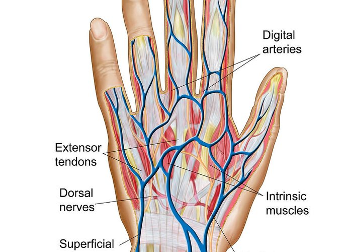 Anatomy Of Back Of Human Hand Greeting Card for Sale by Stocktrek Images