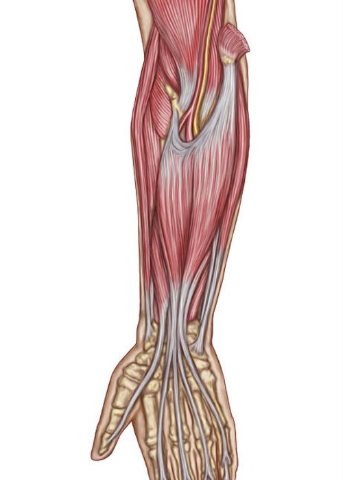 Vertical Greeting Card featuring the digital art Anatomy Of Forearm Muscles, Anterior by Stocktrek Images