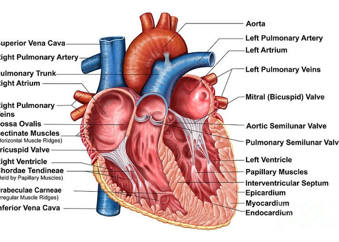 Anatomy of heart interior frontal greeting card for sale for Floor function definition