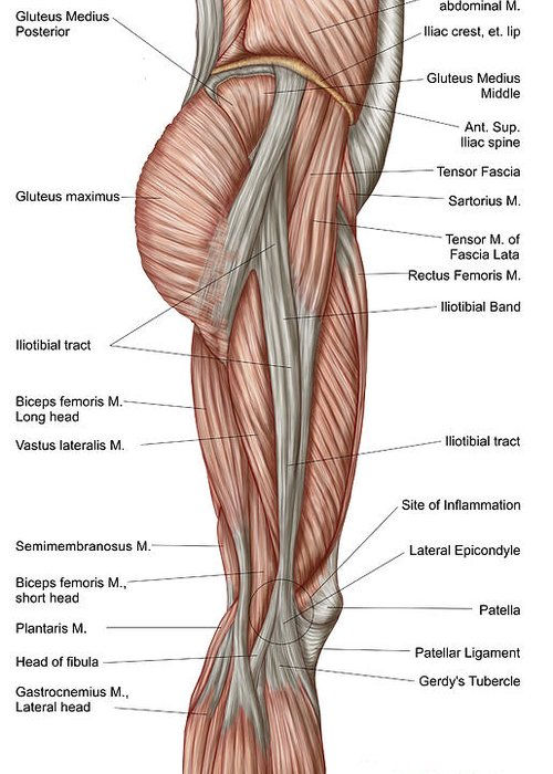 Anatomy Of Human Thigh Muscles Greeting Card For Sale By