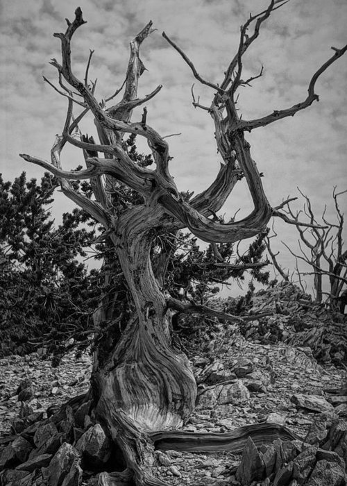 Landscape Greeting Card featuring the photograph Ancient Bristlecone Pine by Roland Peachie