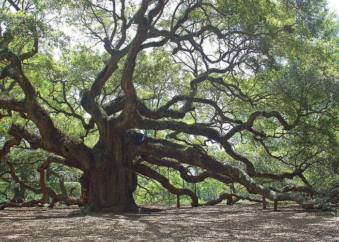 Angel Oak Greeting Card featuring the photograph Angel Oak II by Suzanne Gaff