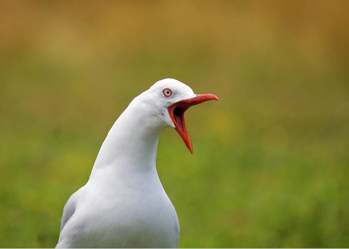 Larus Scopulinus Greeting Card featuring the photograph Angry Red Billed Gull by Dave Walsh