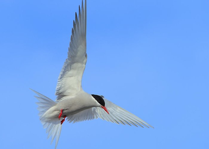 Antarctic Tern Greeting Card featuring the photograph Antarctic Tern by Tony Beck