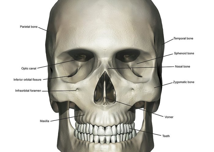 Anterior View Of Human Skull Anatomy Greeting Card for Sale by ...