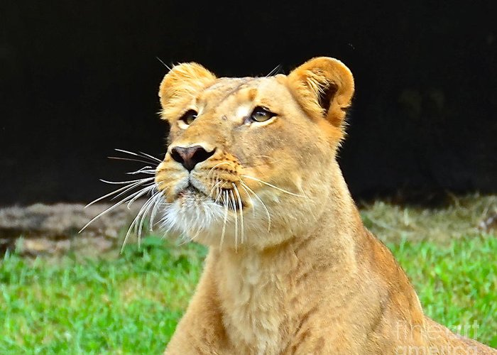 Lion Greeting Card featuring the photograph Anticipation by Carol Bradley