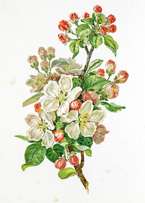 Cherry Greeting Card featuring the digital art Apple Blossom 19 Century Illustration by Mashuk