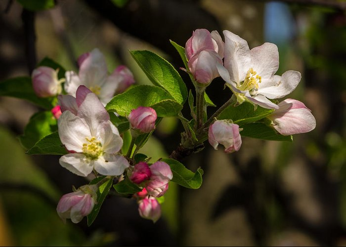 Apple Blossom Greeting Card featuring the photograph Apple Blossom 3 by Carl Engman