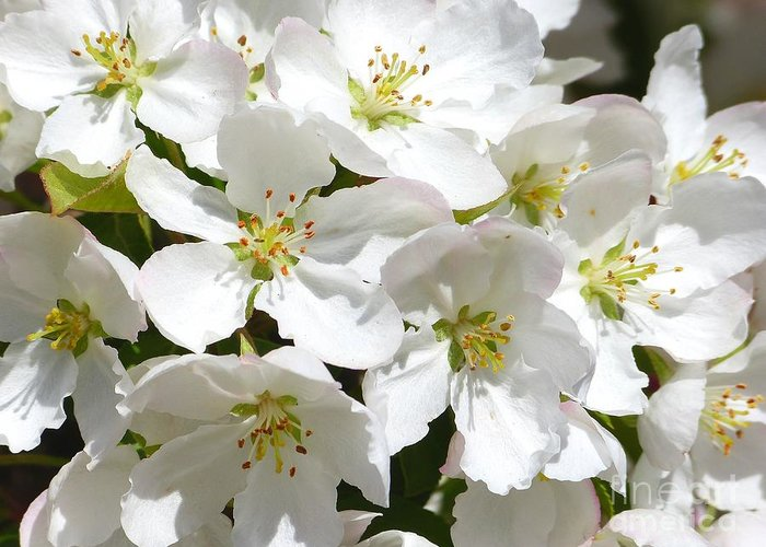 Apple Greeting Card featuring the photograph Apple Blossoms In Spring by Christine Stack