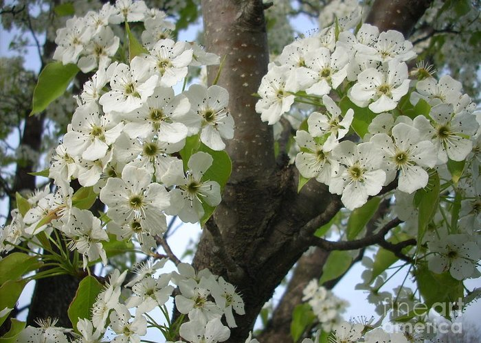 Flowers Greeting Card featuring the photograph Apple Blossoms by Randi Shenkman
