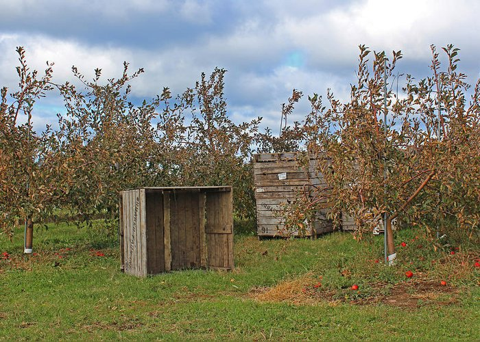 Apple Greeting Card featuring the photograph Apple Orchard 1 by William Tegtmeyer