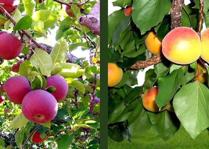 Apples And Apricots Greeting Card featuring the photograph Apples And Apricots by Will Borden