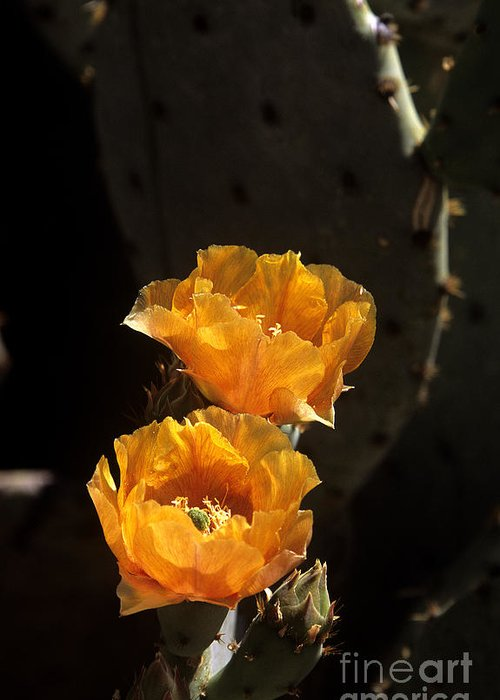 Cactus Greeting Card featuring the photograph Apricot Blossoms by Kathy McClure