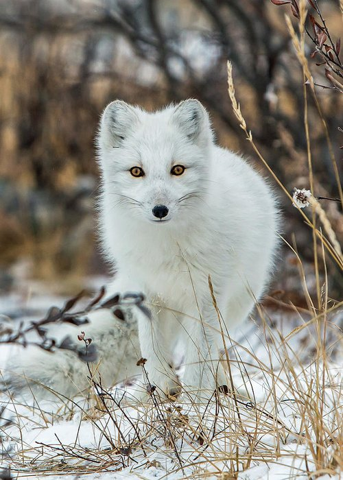 Arctic Fox Greeting Card featuring the photograph Arctic Fox by Jack Bell