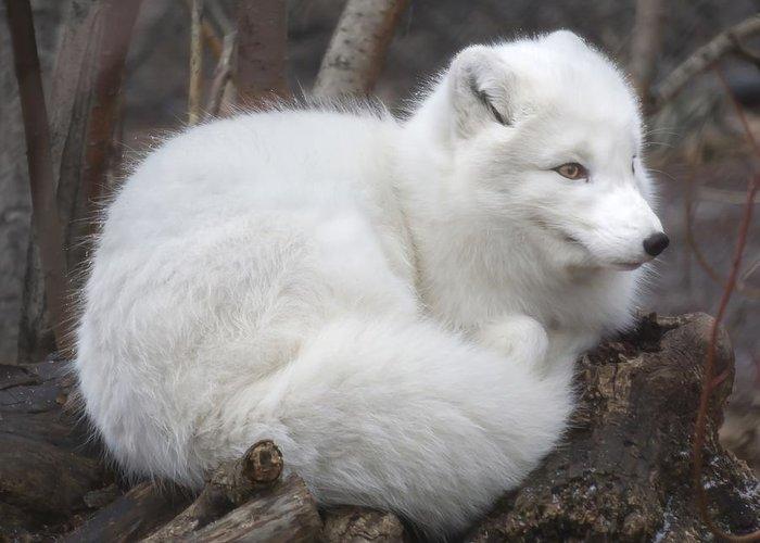 Arctic Fox Greeting Cards
