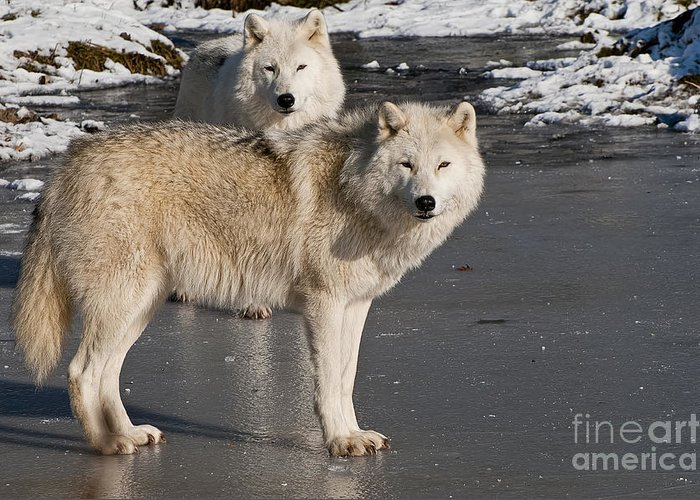Arctic Wolf Greeting Card featuring the photograph Arctic Wolf Pictures 812 by World Wildlife Photography