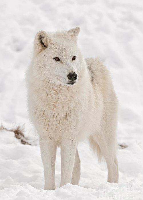 Arctic Wolf Greeting Card featuring the photograph Arctic Wolf Pictures 844 by World Wildlife Photography