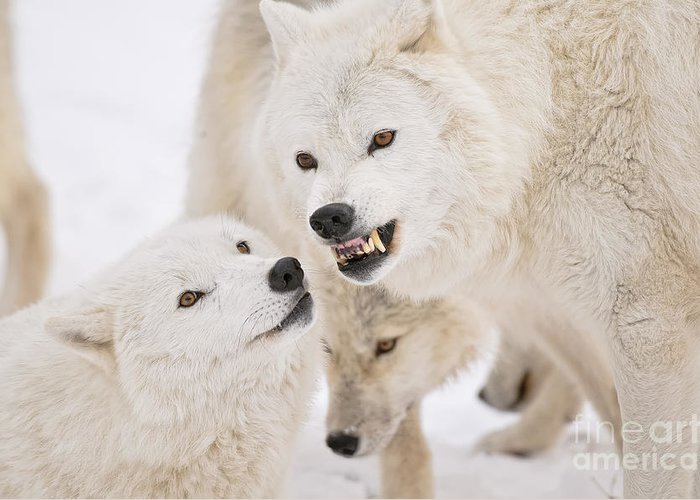 Arctic Wolf Greeting Card featuring the photograph Arctic Wolf Pictures 872 by World Wildlife Photography