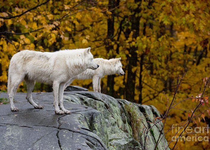 Arctic Wolf Greeting Card featuring the photograph Arctic Wolf Pictures 930 by World Wildlife Photography