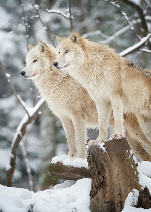 Snow Greeting Card featuring the photograph Arctic Wolves Pack In Wildlife, Winter by 4fr