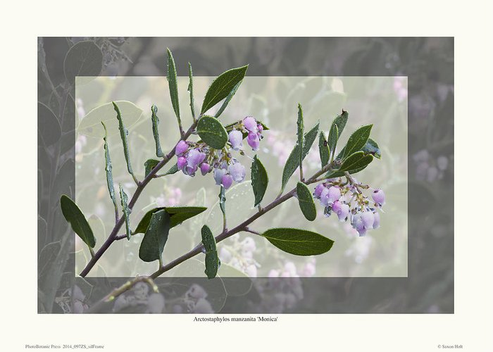 Manzanita Greeting Card featuring the photograph Arctostaphylos Manzanita 'monica' by Saxon Holt