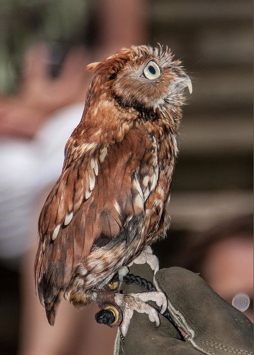 Screech Owl Greeting Card featuring the photograph Are You My Mother by John Haldane