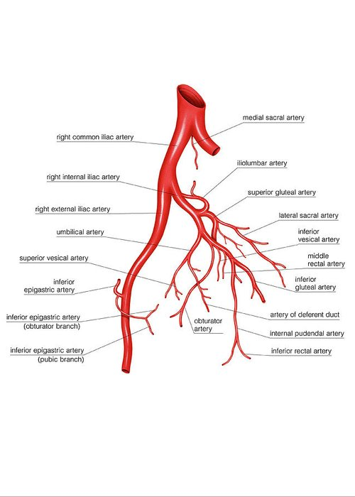 Arterial System Of The Abdomen Greeting Card for Sale by Asklepios ...