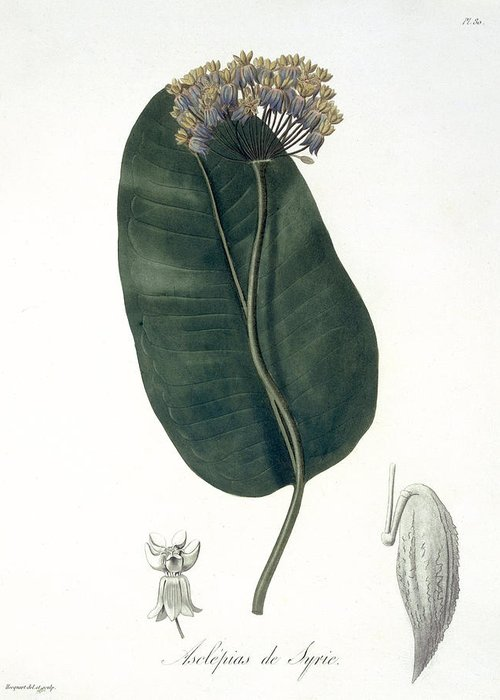 Botany Greeting Card featuring the drawing Asclepias Syriaca From Phytographie by L.F.J. Hoquart