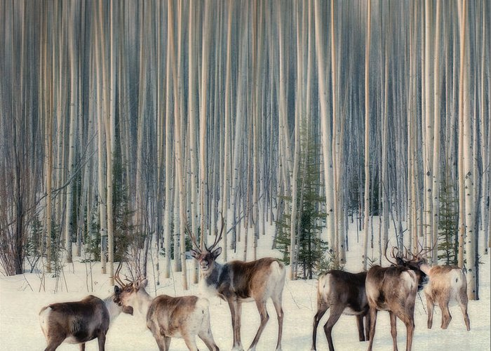 Woodland Caribou Greeting Card featuring the photograph Caribou And Trees by Priska Wettstein