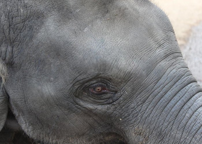 Asian Elephants Greeting Card featuring the photograph Asian Elephant Face by Colin Smeaton