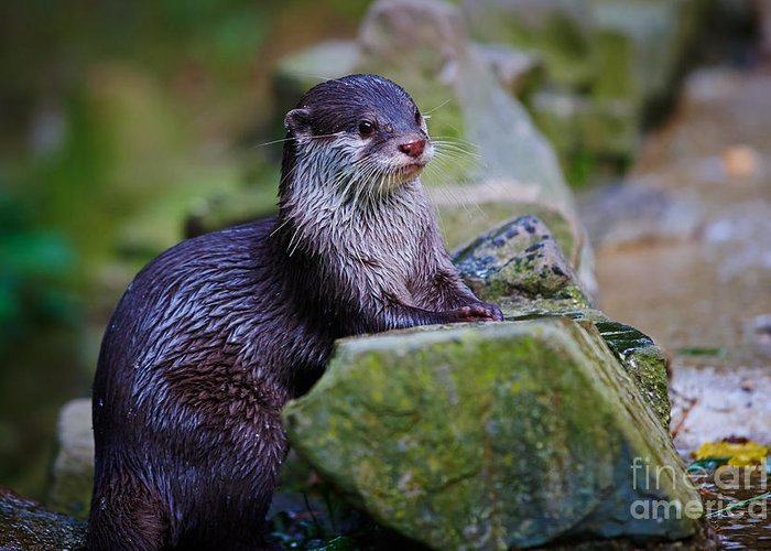 Asian Greeting Card featuring the photograph Asian Small Clawed Otter by Nick Biemans