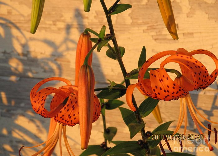 Flowers Greeting Card featuring the photograph Asiatic Tiger Lily by Tina M Wenger