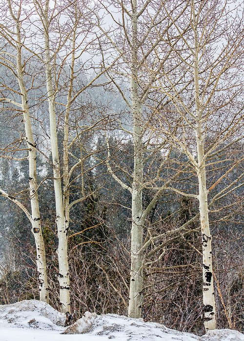 Colorado Greeting Card featuring the photograph Aspens 3 by Karen Saunders