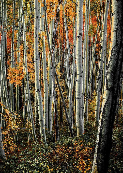Aspens Greeting Card featuring the photograph Aspens 6 2014 by Jim Painter