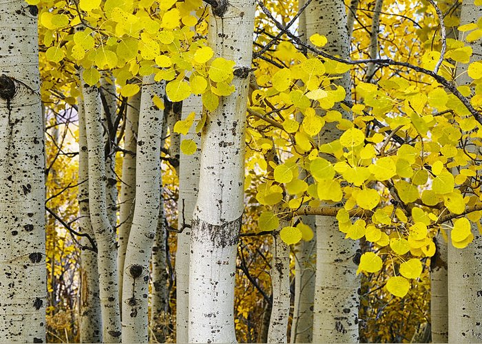 Autumn Greeting Card featuring the photograph Aspens At Autumn by Andrew Soundarajan