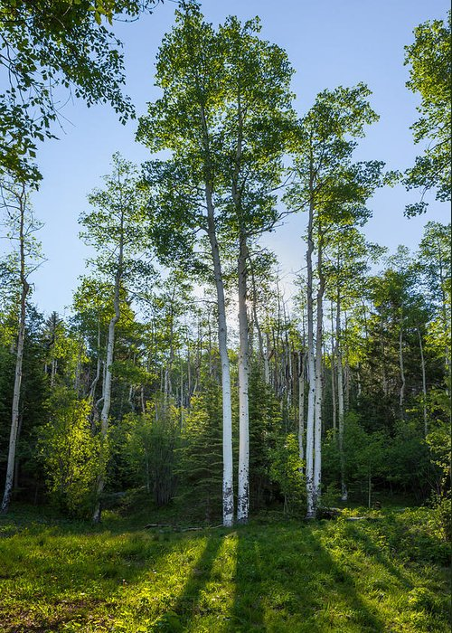 Aspen Greeting Card featuring the photograph Aspens At Sunrise 1 - Santa Fe New Mexico by Brian Harig
