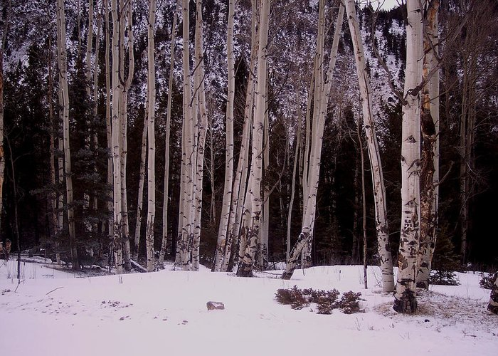 Aspens Greeting Card featuring the photograph Aspens In Snow by Lanita Williams
