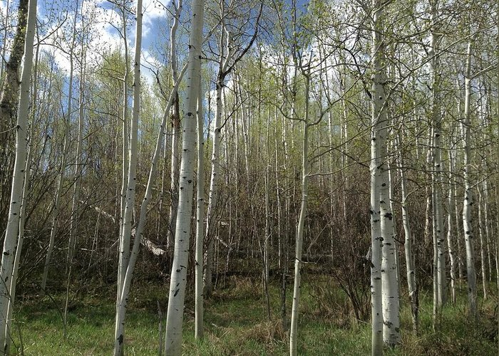 Star Valley Ranch Greeting Card featuring the photograph Aspens In The Springtime by Shawn Hughes