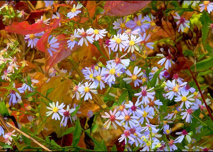 Ron Jones Greeting Card featuring the photograph Asters by Ron Jones